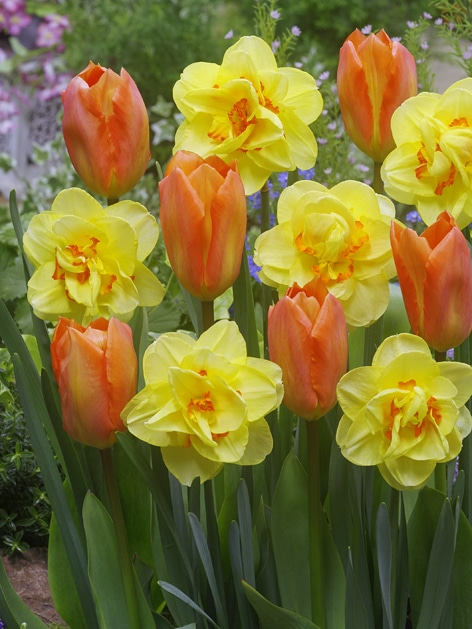 FA 15-0237 Tulipa Orange Emperor-Narcissus Tahiti