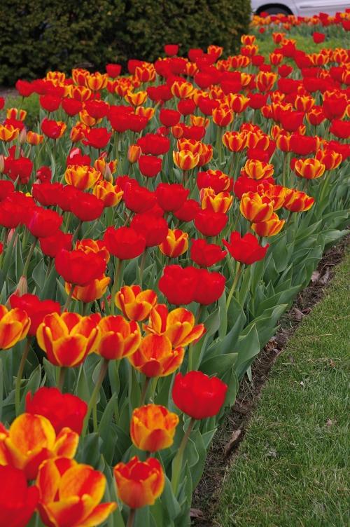 Tulipa Burning Embers