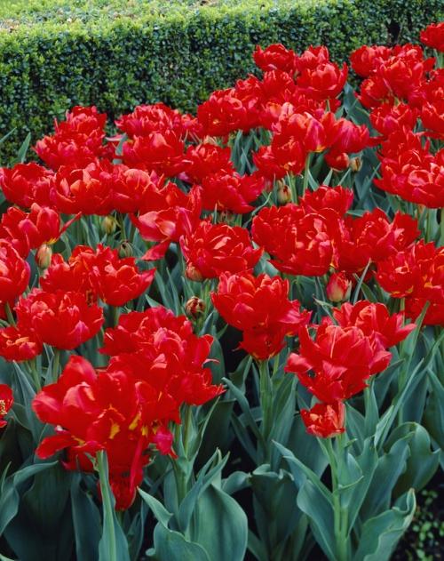 Tulipa Viking
