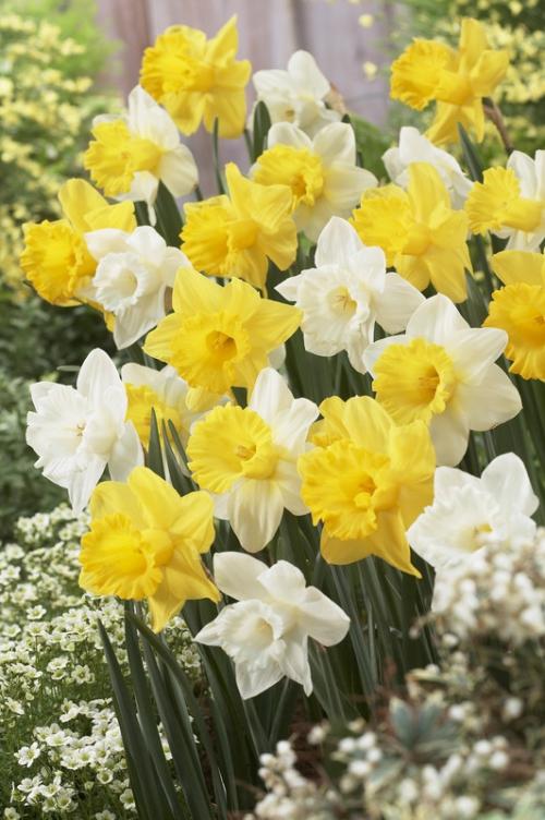 Narcissus white-yellow mix