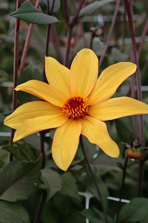 Dahlia Bishop (Peony Flowered)