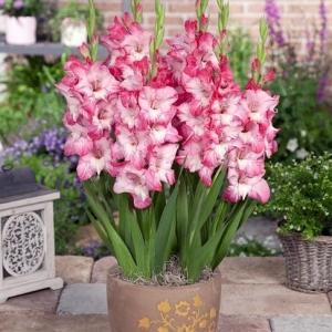 Glamini Pot Gladiolus