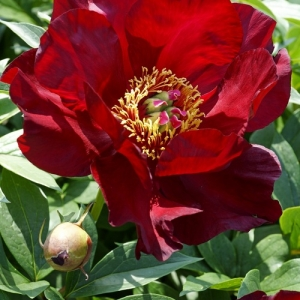 Paeonia intersectional (itoh Peony)