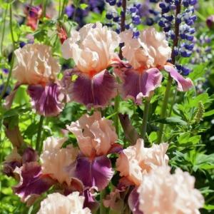 Iris germanica bare root