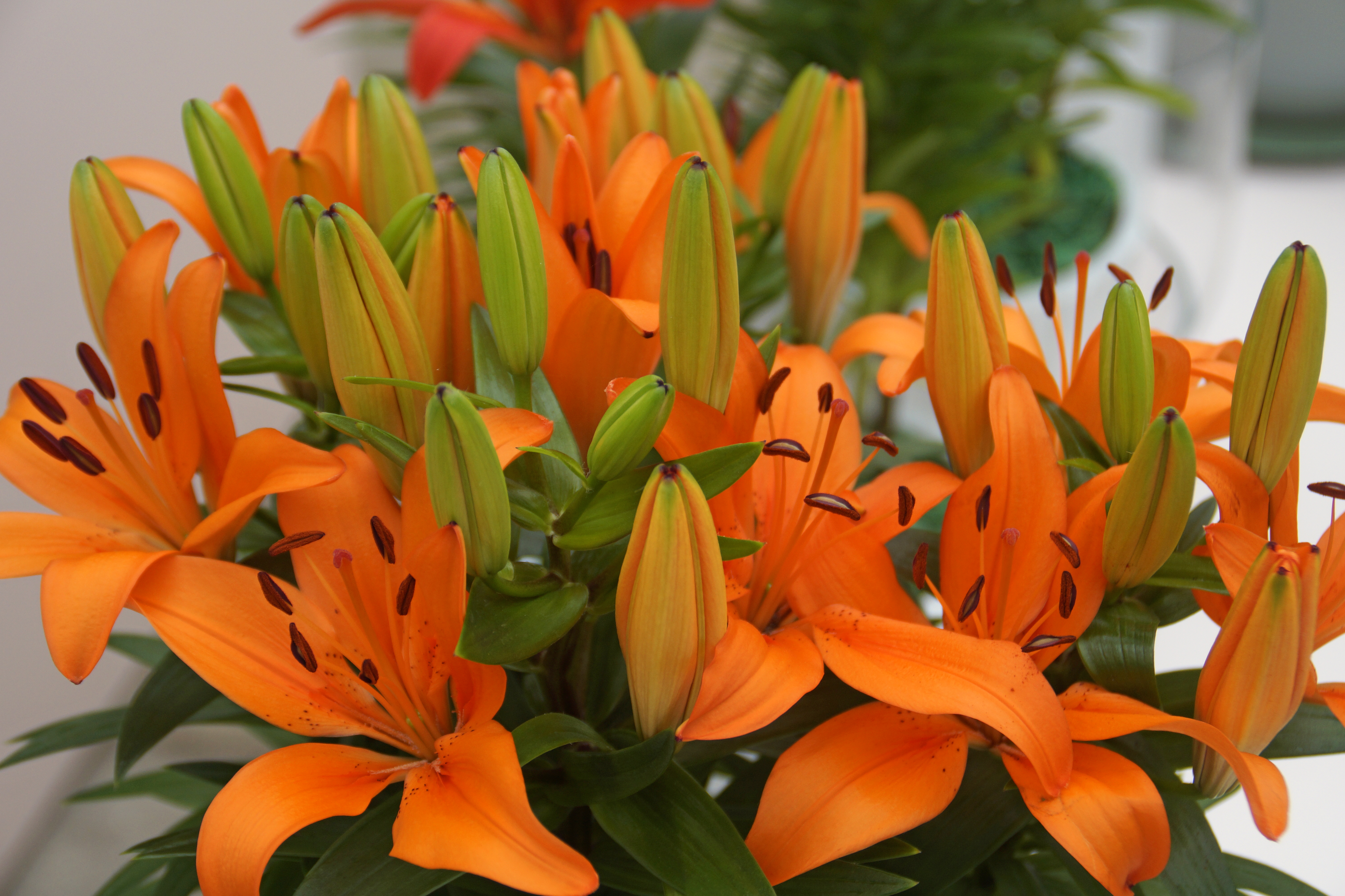 Lilies Asiatic