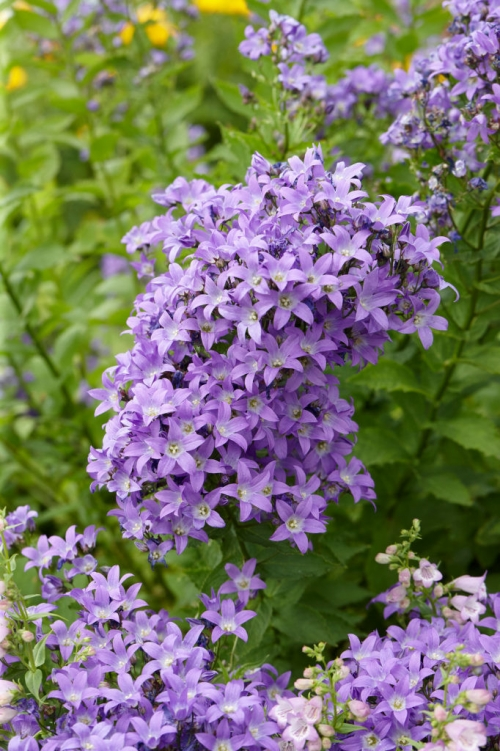 Campanula lactiflora Border Blues
