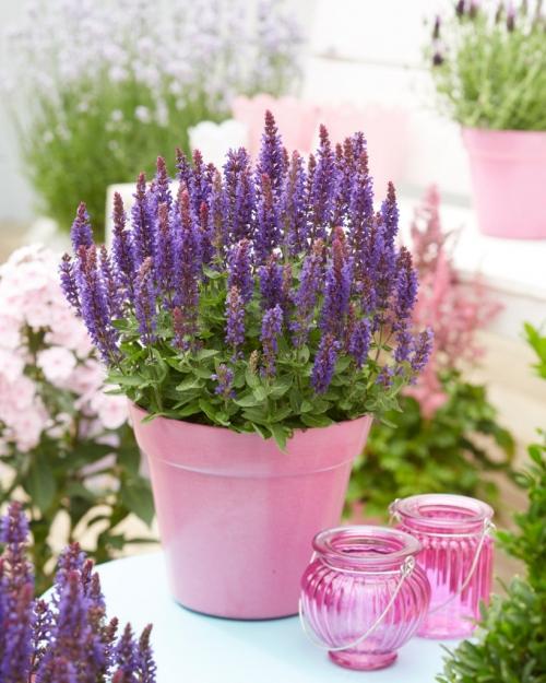 Salvia Blue Bouquetta ®
