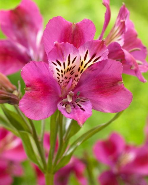 Alstroemeria Montsoreau ®