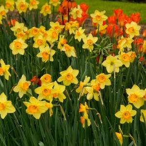 Daffodils ( Narcissus)