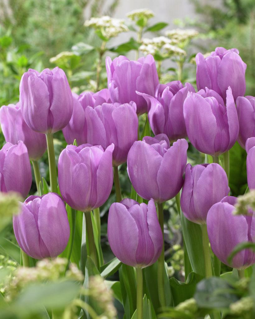 Alibi Best Flower Bulbs